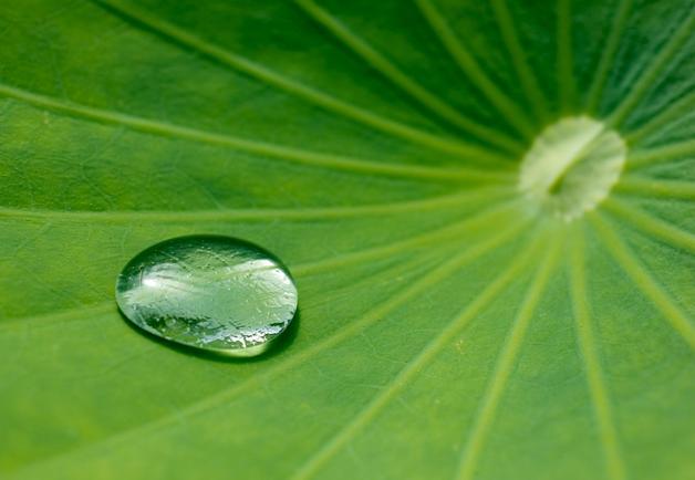 """La economía circular o """"verde"""" que apuesta por el residuo cero y la reutilización de los recursos, es la clave que apunta tanto la ciencia como la empresa privada para atender los retos futuros del mas vital de todos los bienes, el agua.  En la foto de archivo, una gota sobre una hoja de flor de loto.  EFE/Patrick Pleul"""