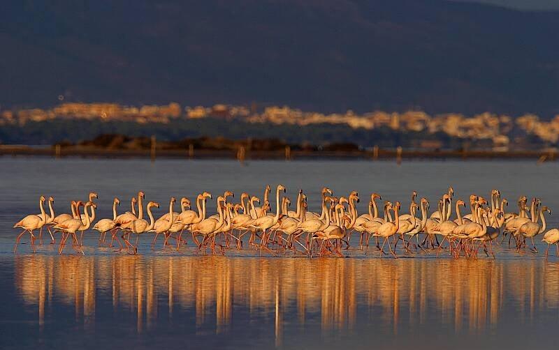 Framencos en Terres de l´Ebre. Fotografia de Ricardo Cebolla