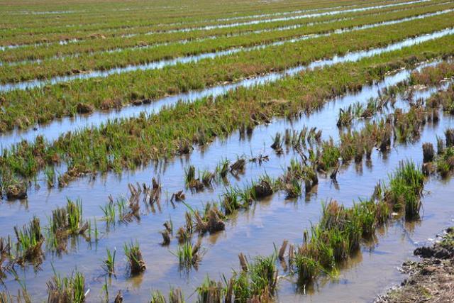 29-octubre-2012-13-45-00-explotacion-de-arroz-en-el-delta-del-ebro._detalle_media