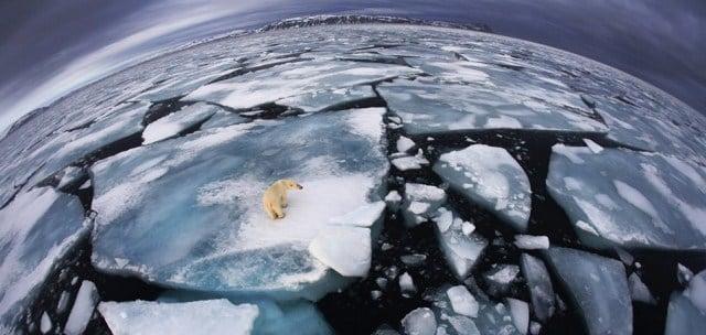 oso-polar-en-el-hielo-1024x486