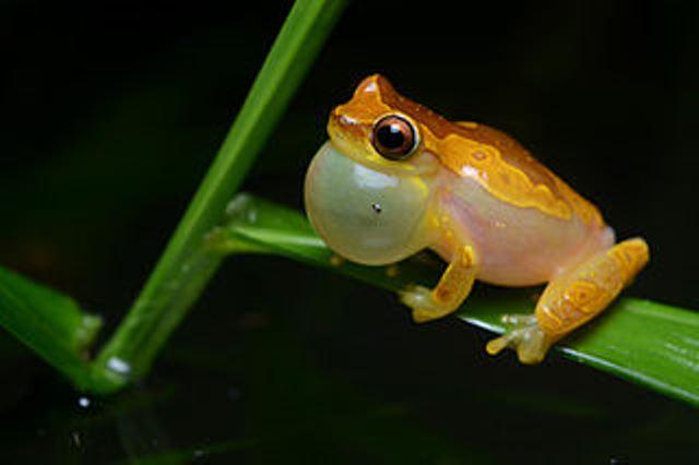 320px-Flickr_-_ggallice_-_Calling_hourglass_treefrog