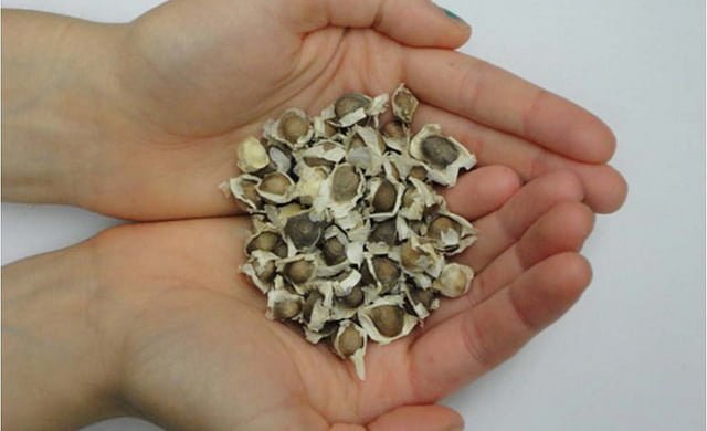semillas del arbol moringa oleifera